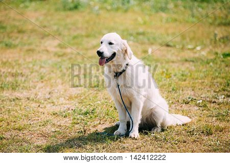 The White Labrador Retriever Adult Dog Or St. John's Dog, St. John's Water Dog With Ajar Jaws, Tongue Sitting On Trimmed Sunny Lawn. Copyspace Background.