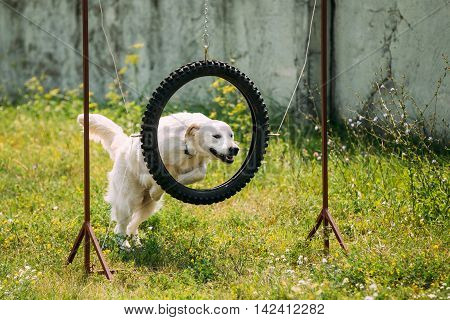 The Trained White Yellow Labrador Retriever Dog Jumping Through Suspended Tire Tyre Hoop On Green Grass Of The Court.