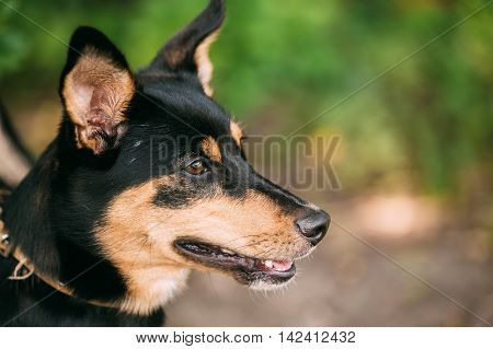 The Profile Portrait Of Small Size Mongrel Mixed Breed Short-Haired Black And Red Adult Dog With Prick-Ears, Slightly Open Jaws. Copyspace.