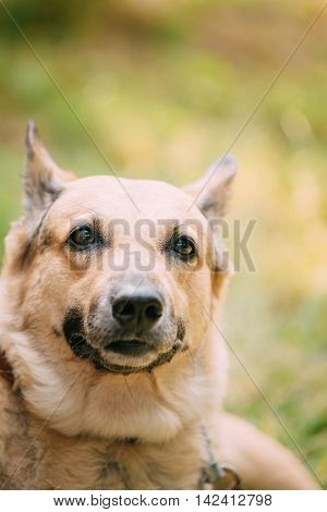 Close Up Of Medium Size Mongrel Mixed Breed Short-Haired Yellow Adult Female Dog On Green Grass Background