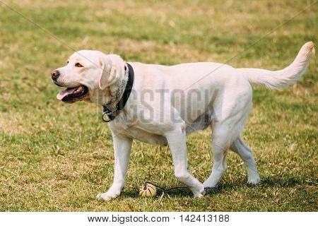 Full-Length The Yellow Golden Labrador Adult Dog With Ajar Jaws, Tongue Walking Slowly On Trimmed Sunny Lawn.