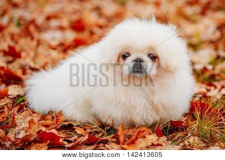 White Pekingese Pekinese Peke Whelp Puppy Dog Sitting On Red Yellow Orange Fall Foliage In Autumn Park