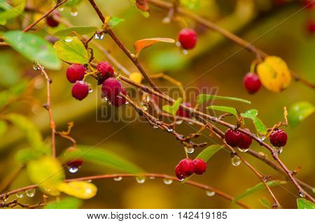 Hawthorn red berries in nature, autumn seasonal vintage background