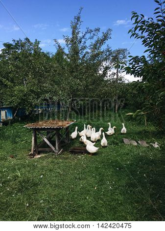 sunny day in the garden of a flock of white geese on a green lawn
