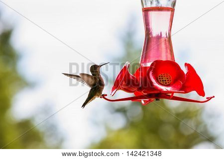 Tiny hummingbird getting a drink at a backyard feeder full of sugar water nectar. Northwest USA