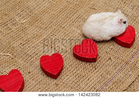 Little cute Djungarian (asian Siberian dwarf) hamster with wooden hearts and white and red balls of wool on canvas background