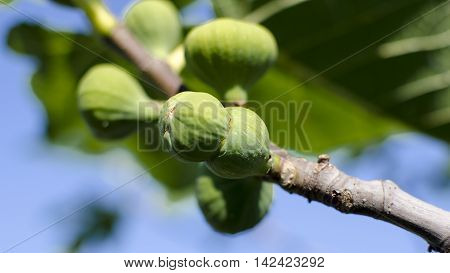 fruit of the fig tree with double fruit called
