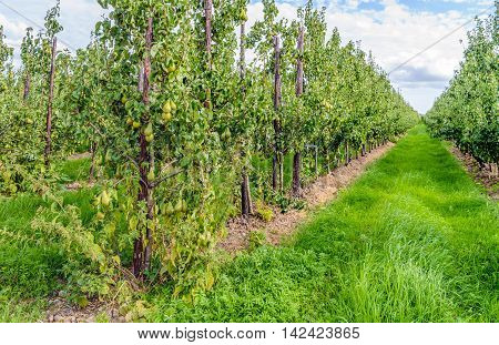 Modern orchard in the Netherlands with Conference pears ripening on long rows of low espalier pear trees. It is now in the middle of summer and it takes about a month before the pears are completely mature.