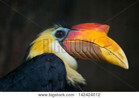 Sunda wrinkled hornbill (Aceros corrugatus). Wildlife bird.