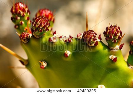 Macro photography of buds and red flowers of a green prickly pear cactus