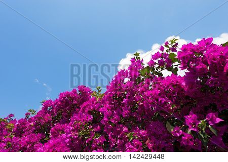 Detail of a beautiful violet bougainvillea flowers on a blue sky with white cloud. Liguria Italy