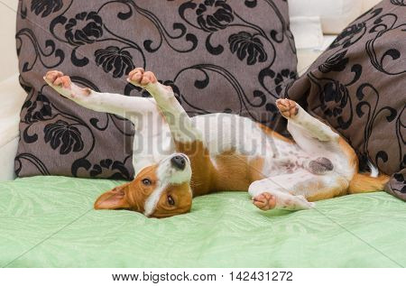 Cute basenji dog being in usual pose on the sofa just after siesta