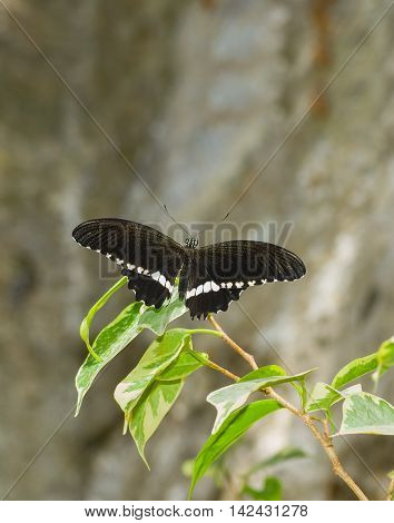 Black tropical butterfly rests on a green leaf