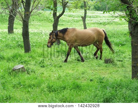 Brown Horse In A Green Forest In Summer Day