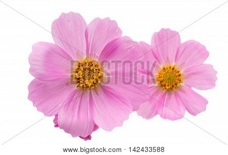 Cosmos magenta Flower isolated on white background