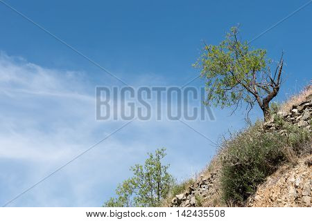Lonely almond tree with green leaves at the ege of a hill and blue cloudy sky