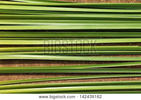 Green leaf of Papyrus as abstract background