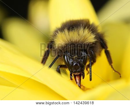 Bumblebee in yellow flower collecting nectar close-up macro