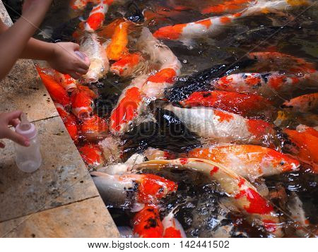 colorful koi or carp are scramble for food in feeding