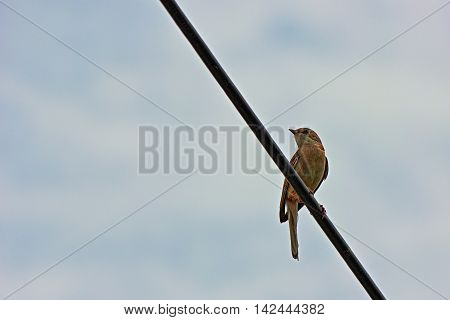 Simply are amazing songs this small greyish bird