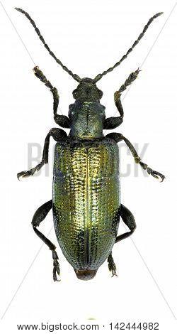 Reed beetle on white Background  -  Plateumaris sericea  (Linnaeus, 1761)