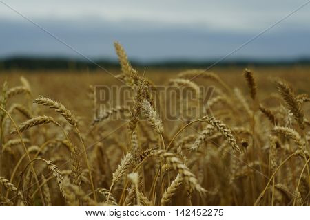 photo with wheat field in clody midday