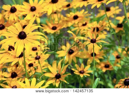 Bed of warm yellow and brown daisies in backyard garden.
