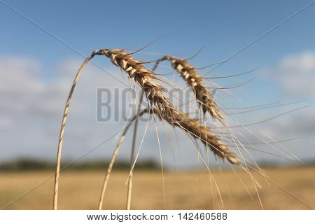spikelets of wheat against the blue spring sky