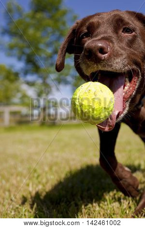Close up of chocolate Lab going after tennis ball, frontal view
