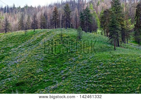 Hills covered with blue flowers. North Cascades National Park Pipestone Canyon Winthrop Washington State USA.