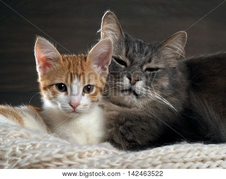 Big Gray Cat And A Small White And Red Kitten Lying Together On A Knitted Rug. Cats Symbol Of Comfor