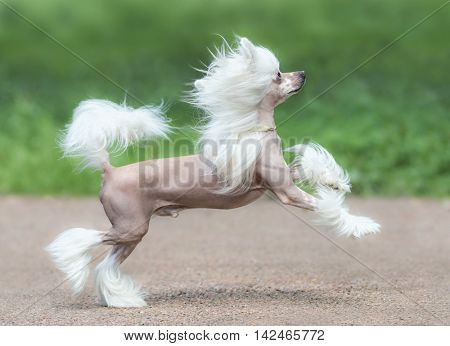 Chinese Crested Dog Breed. Male dog. Toy dog, fine-boned, elegant and graceful.