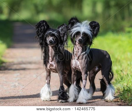 Chinese Crested Dog Breed. Male and Female dog. Toy dog, fine-boned, elegant and graceful.