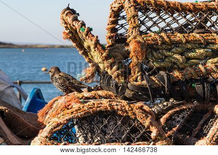 Lobster pot on sunny day with starling.