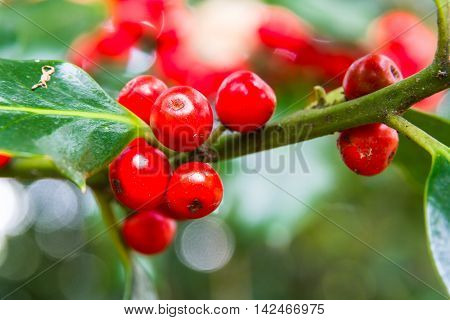 Macro of red holly berries ilex part of the Aquifoliaceae family.