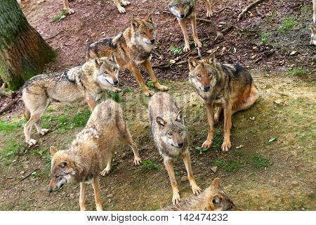 a group of timber wolves in the forest