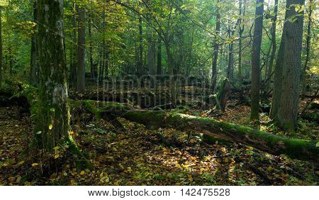 Autumn forest landscape with broken trees in morning, Bialowieza Forest, Poland, Europe