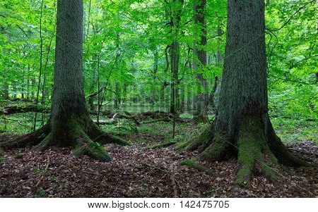 Two old spruces inside deciduous stand of Bialowieza Forest, Poland, Europe