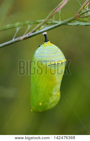 Close up of a monarch chrysalis in North Carolina.