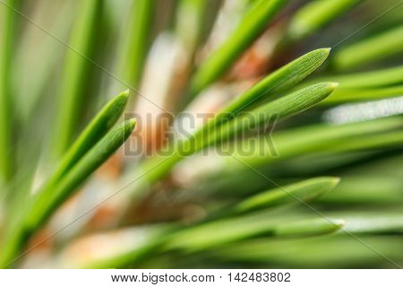Closeup of a lodgepole pine (Pinus contorta) needles and stem against a blurred background