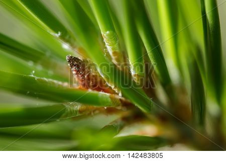 Closeup of a lodgepole pine (Pinus contorta) needles hiding a growth bud oozing sap