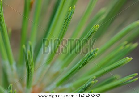 Closeup of a lodgepole pine (Pinus contorta) needle tips against a blurred background