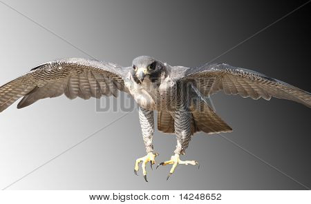 Falcon Coming In Fast, Intent On Prey