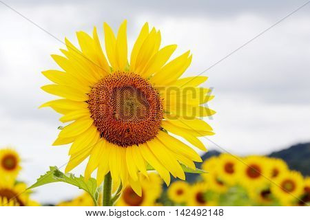 Sunflowers blooming in farm with sky, organic landscape background