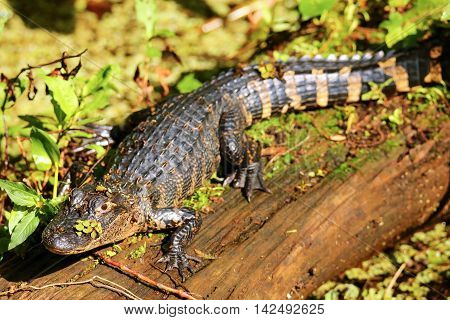 Alligator Resting On A Log