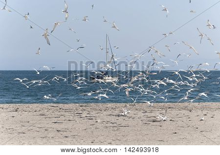 Flock of Seagulls Flying at the Beach