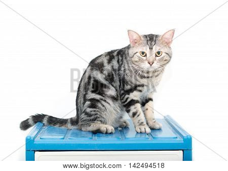 American shorthair cat with copy space .