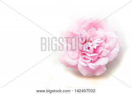 single romantic soft pink flower on white background