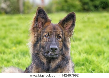 Close up of head of a German Shepherd Dog laid on grass