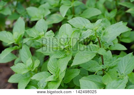 Ocimum basilicum Linn Thai basil green leaves mint flavour herb and food ingredient for Thai cooking and Thai food